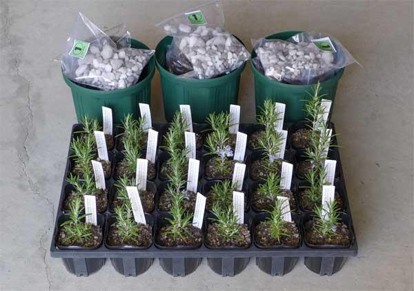 鉢植えセットと苗