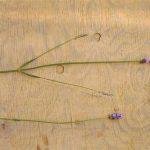 ラベンダーの花穂が小さくなります