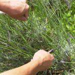 ラベンダーの収穫方法