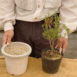 同じサイズの鉢に植え替えするには