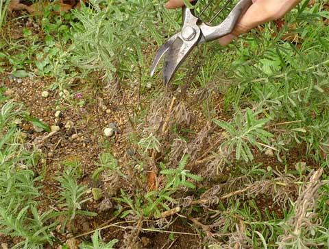 フリンジラベンダーの長い枝の剪定