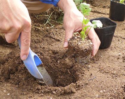 定植穴を掘る