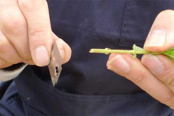 挿し穂の処理