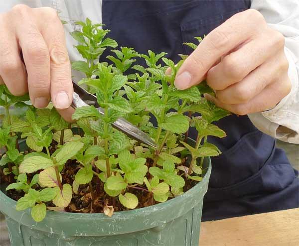 挿し穂の収穫