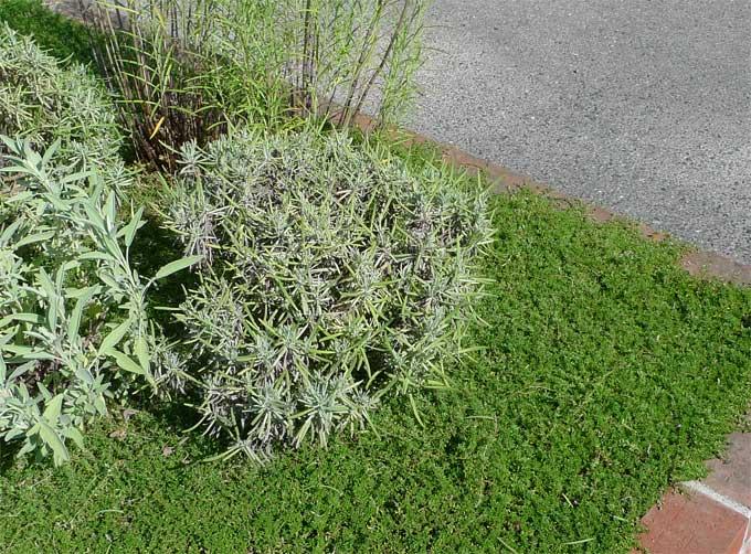 ハーブの花壇のラベンダー
