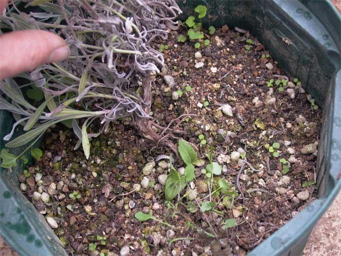 コガネムシ被害の鉢