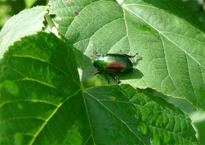 ボダイジュの葉をかじるコガネムシの成虫