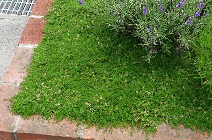ハーブの花壇のタイム