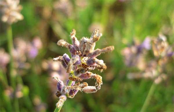 花の終わり・イングリッシュラベンダー