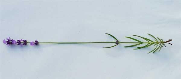 収穫位置・イングリッシュラベンダー