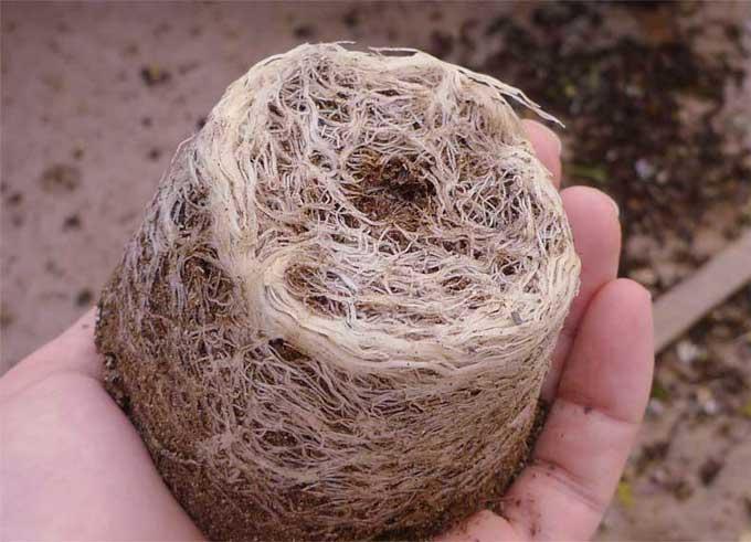 微生物肥料でよく育つ根