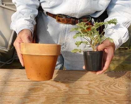 鉢と苗のサイズ
