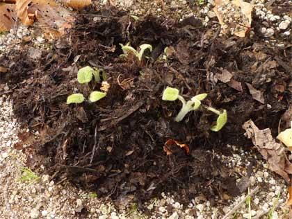 腐葉土のマルチ