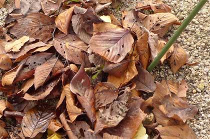 落ち葉のマルチ