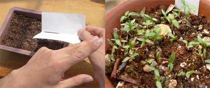 ハーブを種から育てる
