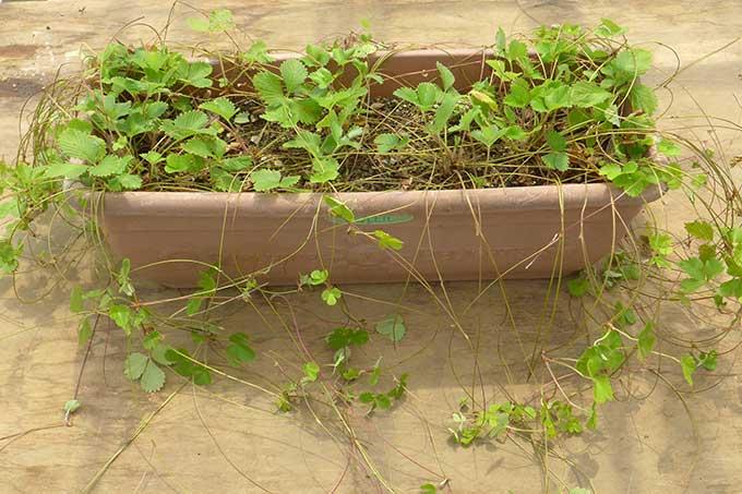 プランターに植えたストロベリーのランナーと子株