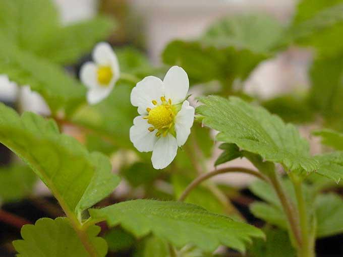ストロベリーの花