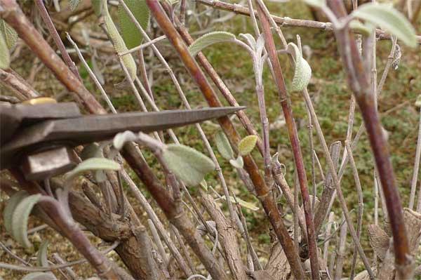 セイジの新芽の上で剪定