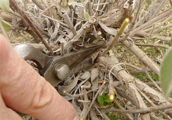 セイジの古い枝を剪定