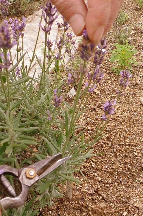 花茎を剪定する
