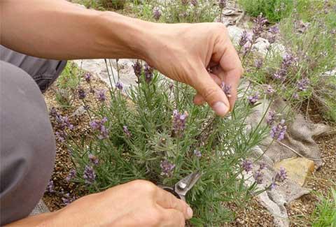ラベンダーの開花後の剪定