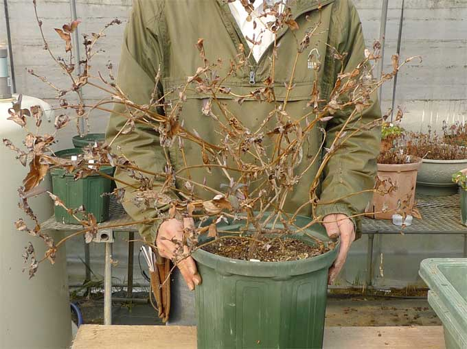 ハニーサックルの鉢植え