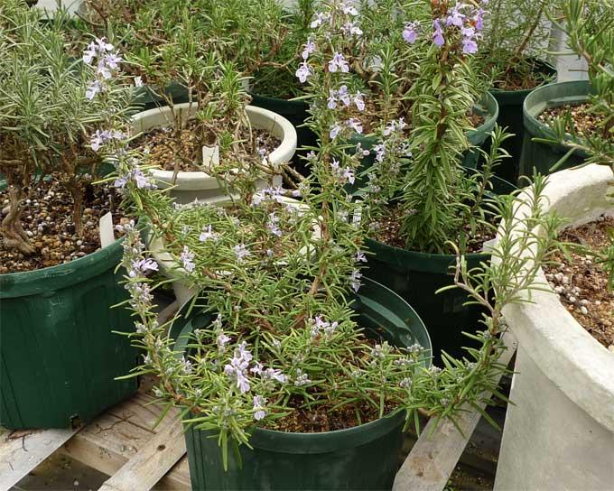 ローズマリーの開花中鉢