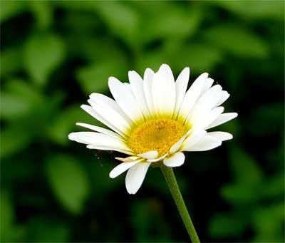 白花ダイヤーズカモミール