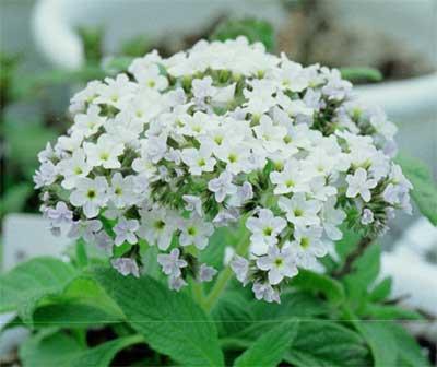 ヘリオトロープ(白花)
