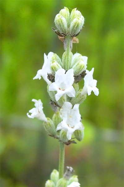 白花ラバンディン