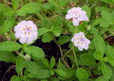 白花カーペットグラス