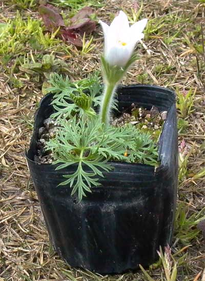 白花パスクフラワー