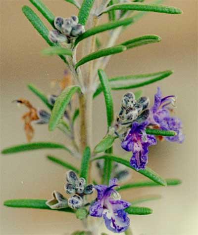 ローズマリー(濃紫)