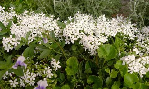 白花ロックソープワート