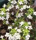 白花コモンタイム