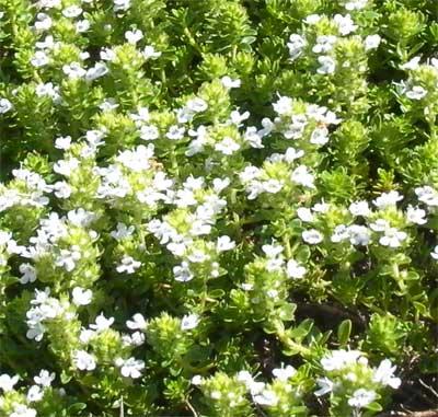 白花クリーピングタイム