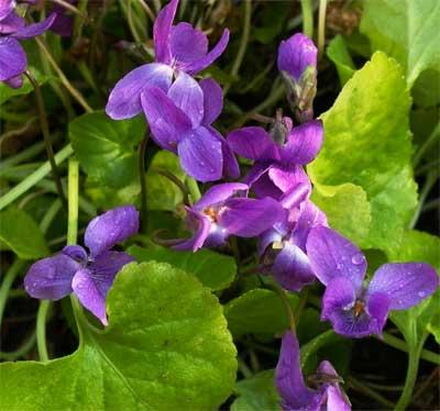 濃紫スイートバイオレット