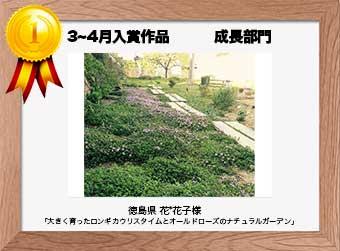 フォトコンテストエントリーNo.213  徳島県 花*花子様  成長部門   「大きく育ったロンギカウリスタイムとオールドローズのナチュラルガーデン」