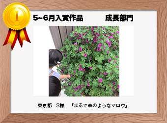 フォトコンテストエントリーNo.243  東京都 S様  成長部門   「まるで森のようなマロウ」