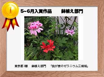 フォトコンテストエントリーNo.230  東京都 I様  鉢植え部門   「我が家のゼラニウム三姉妹」