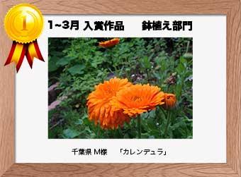 フォトコンテストエントリーNo.283  千葉県 M様  鉢植え部門   「カレンデュラ」