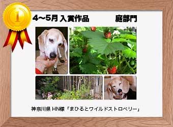 フォトコンテストエントリーNo.356  神奈川県 HN様  庭部門   「まひるとワイルドストロベリー」