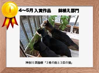 フォトコンテストエントリーNo.352  神奈川 西脇様  鉢植え部門   「3株の苗と3匹の猫」