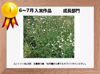 フォトコンテストエントリーNo.395  兵庫県 K様  成長部門   「去年種から育てたホワイトキャンピオン」