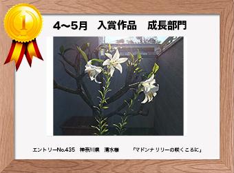 フォトコンテストエントリーNo.435  神奈川県 清水様  成長部門   「マドンナリリーの咲くころに」