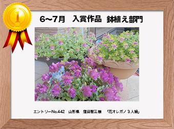 フォトコンテストエントリーNo.442  山形県 窪田智三様  鉢植え部門   「花オレガノ3人娘」