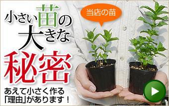 小さい苗の大きな秘密