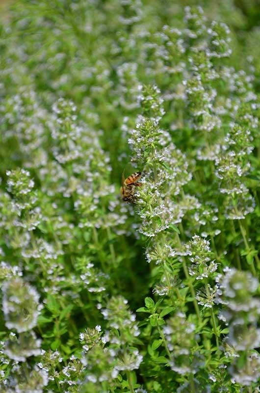 蜂とクリーピングタイム