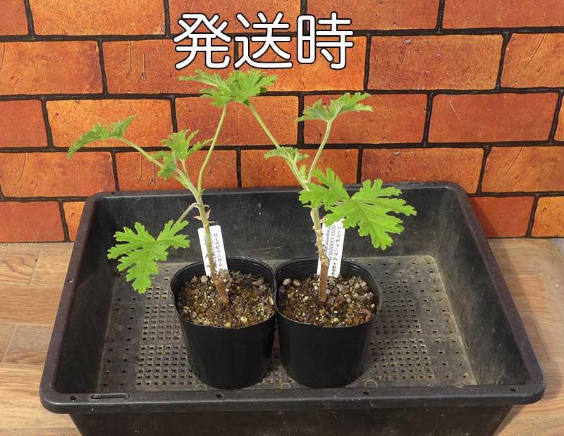 ローズゼラニウムの鉢植え