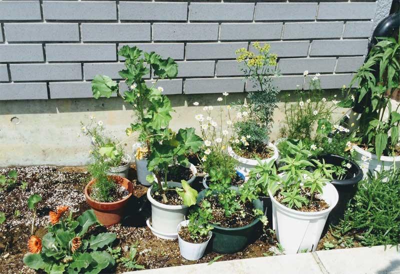 鉢植えのハーブ